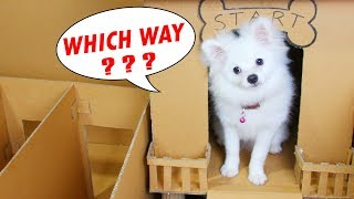 Snowball Dog And Chip Lost In House Maze Make By Cardboard