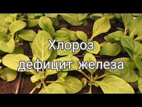 Хлороз - дефицит железа I Феровит I Хлороз у петунии