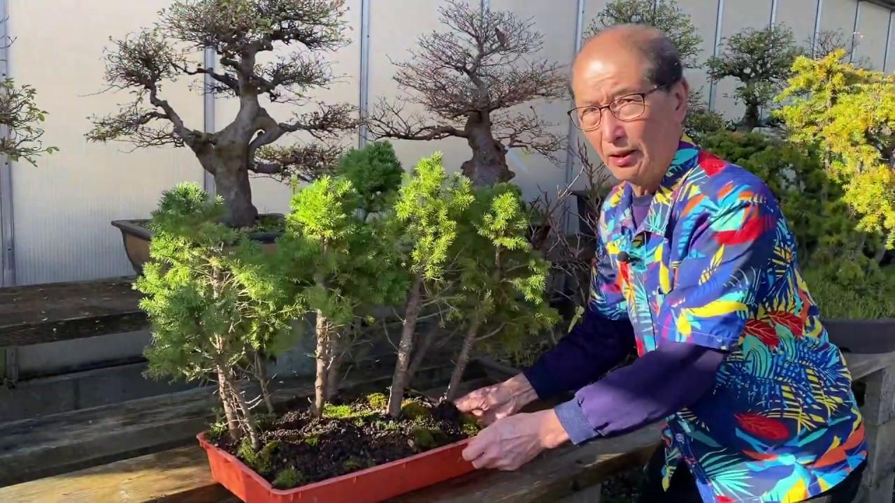 Bonsai Forest Tutorial Maple Juniper Youtube