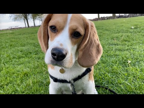 Cute beagle has dandelion on his nose