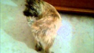 Rocky Our Cairn Terrier Tail Chashing