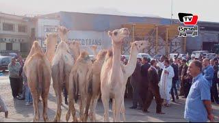 السويس تستقبل أول شحنة «جمال حية» من الصومال بعد غياب ٢٠ عاماً