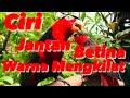 Nuri Kepala Hitam Jantan Betina Ciri Dari Warna Bulu Fisik  Mp3 - Mp4 Download