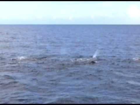 Dominica: Sperm Whales threatened by Pilot Whales