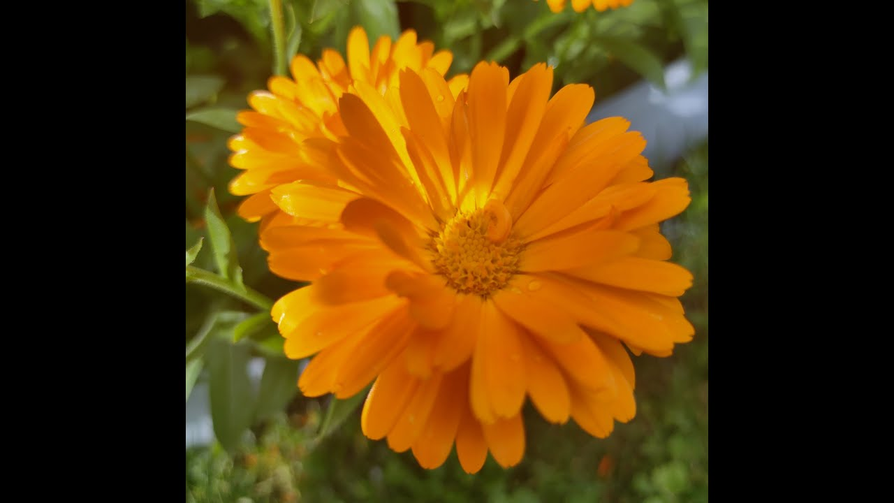 36. ОБЯЗАТЕЛЬНО посадите КАЛЕНДУЛУ (ноготки). Она помощница в огороде. Высеваем рассадным способом.