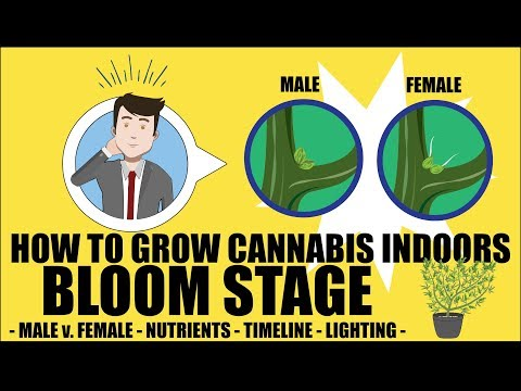 Cannabis Flowering Stage - How to grow marijuana course for dummies - Growing Cannabis Indoors 101
