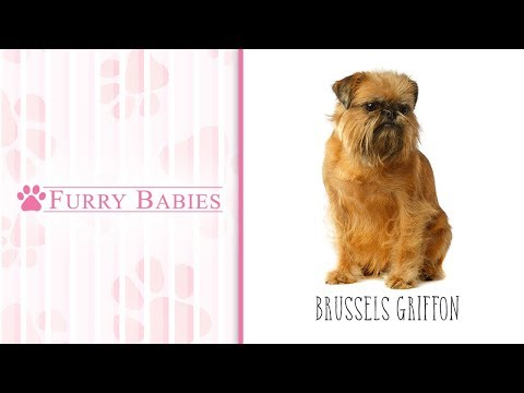 Is the Brussels Griffon the right breed for you?