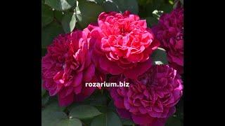 Осенняя пересадка роз  Питомник роз Полины Козловой