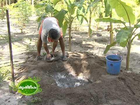 Banana Cultivation വാഴ കൃഷി