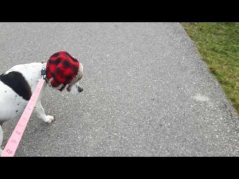 yuppy hunting dog