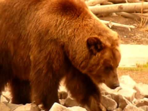Grizzlybär (Grizzlybear) -  Yellowstone Nationalpark