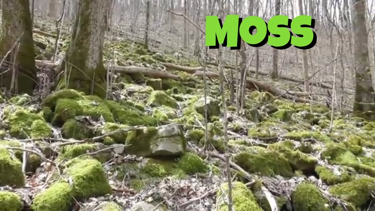 Is Moss A Plant Youtube