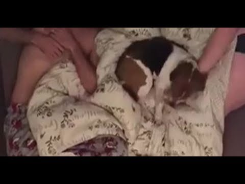 beagle just canu0027t get comfy as his owners toss and turn in bed in super cute time lapse video