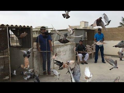 Pigeons Of Samar bhai || Documentary || karachi pakistan