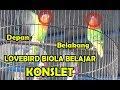Lomba Kicau Burung Lovebird Kontes Lovebird Biola Belajar Konslet Ini Yang Terjadi  Mp3 - Mp4 Download