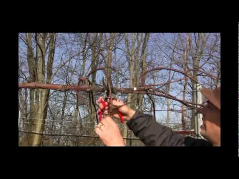 Grape Vine Pruning in Late Winter and Early Spring - Gurney's Video