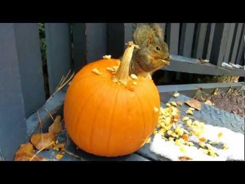 Mr. Squirrel Eating A Pumpkin