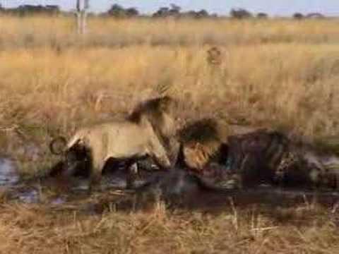 Lion Fight in Botswana