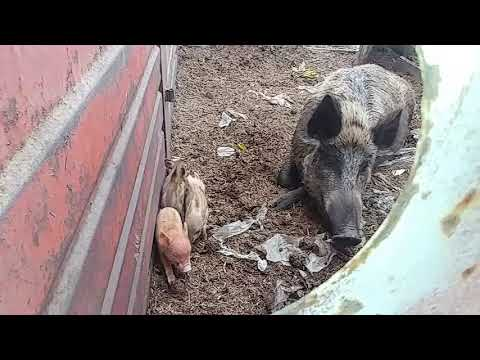 wild-boar-with-her-little-piglets-at-river-styx-farm