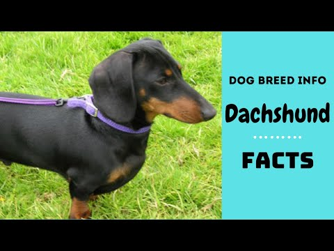 Dachshund dog breed. All breed characteristics and facts about Dachshund dogs