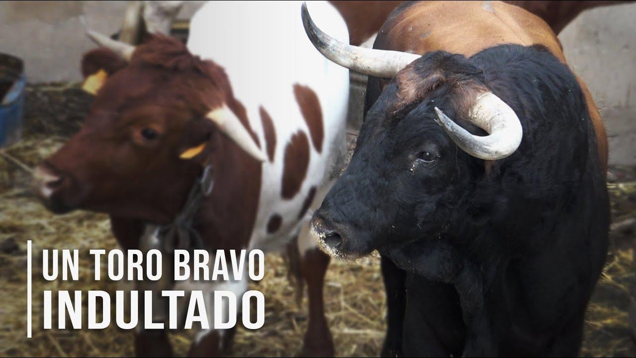 El Toro Bravo Indultado De La Ganadería De Toros Bravos Conde De Mayalde 2020 Youtube