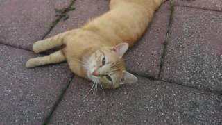 Немецкая Кошка Муся . Ферма в Германии.