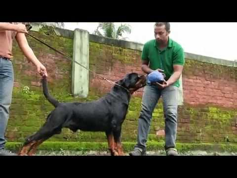 Wolf n Pack. show dog training promotional video.