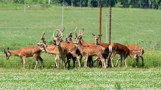 Разведение оленей. Период случки и отела оленей. Охотхозяйство Днепр-Холм