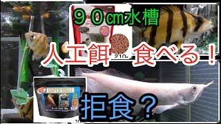 シルバーアロワナ 拒食? ミニ ダトニオ達が人工餌食べます!「アクアリウム」「熱帯魚飼育」 thumbnail