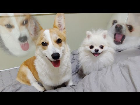 Pomeranian Beat Welsh Corgi |Cute dog ♥ Funny dog from YouTube · Duration:  5 minutes 10 seconds