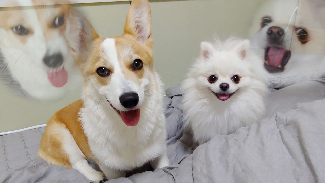 Pomeranian Beat Welsh Corgi |Cute dog ♥ Funny dog