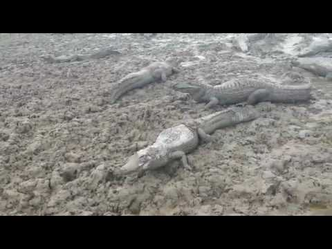 Severe Drought Kills Caimans in Paraguay's Pilcomayo river