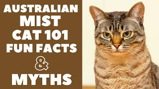 Australian Mist Cats 101 : Fun Facts & Myths