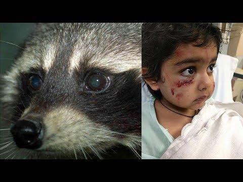 When Raccoons Attack