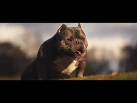 american-bully-world-famous-og-china-boy---pocket-bully---extreme-bully---miagi---dax---not-pitbull