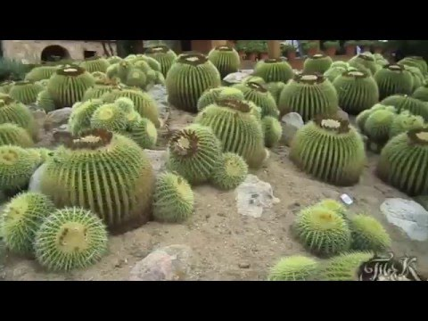 Агава и другие кактусы  Agave and other cacti