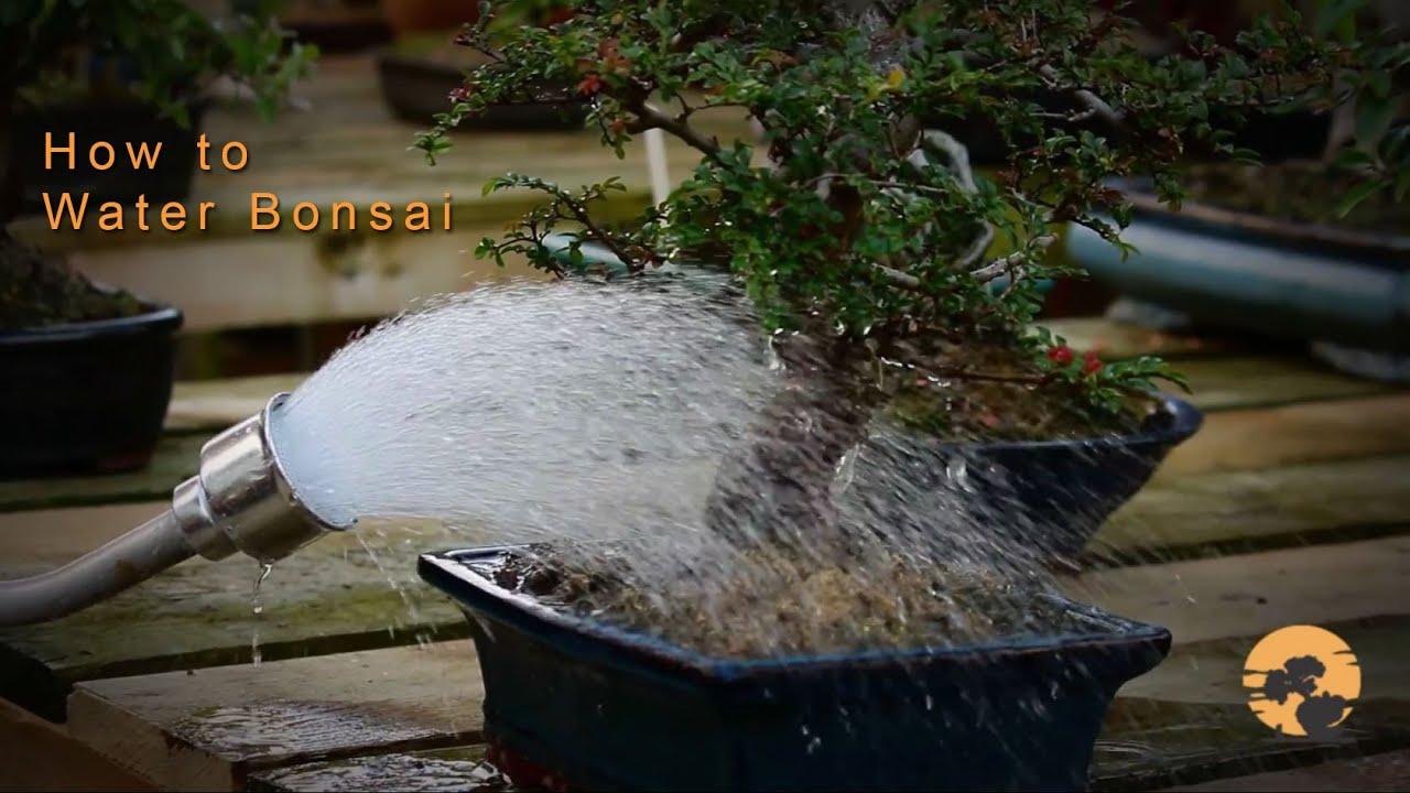08 Bonsai Trees For Beginners Series Watering Bonsai Trees Youtube