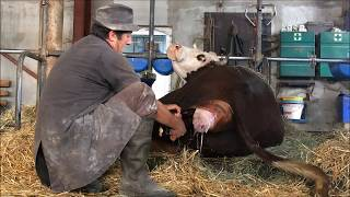 Vêlage d'une vache à lait encore une femelle #23