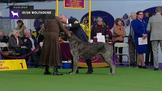 Irish Wolfhounds | Breed Judging 2019