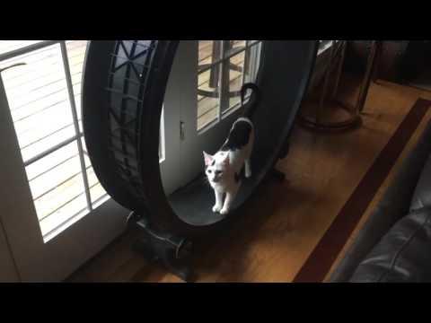 Treadmill cat needs an audience