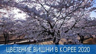 Цветение вишни в Корее в 2020м году