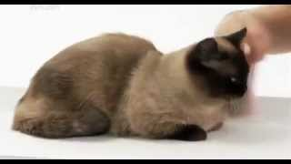 Animal Planet представляет: кошки породы наполеон
