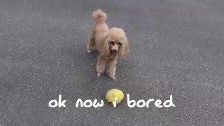 Cute Poodle's Adventure Outside!