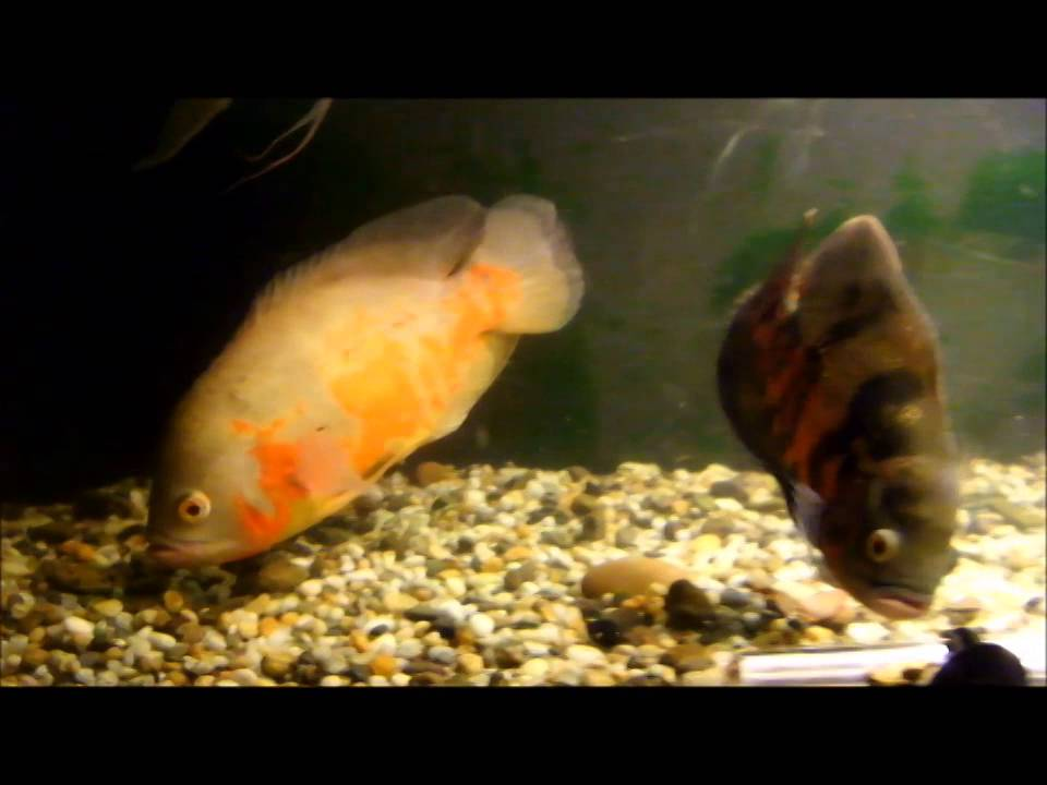 Oscar fish eggs youtube for Black fish eggs