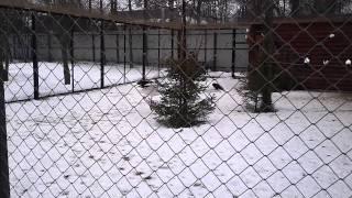 Японский журавль в Ивановском зоопарке