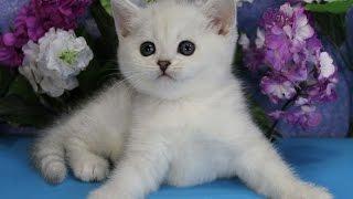 Котенок британская шиншилла Маленькая Колдунья, кошка, 1мес