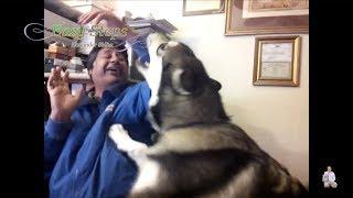 Dog Attacking His Owner | Sheru Alaskan Malamute Playing Around