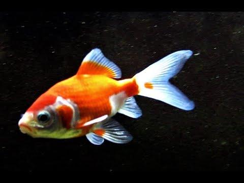 Sarasa Comet Goldfish Aquarium Fish Tank Setup]