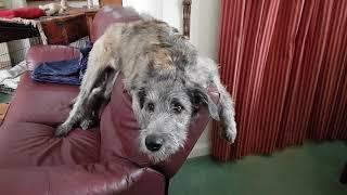 Irish Wolfhound puppy Fia talking.