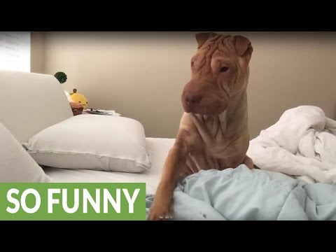 Polite Shar Pei gently wakes up owner